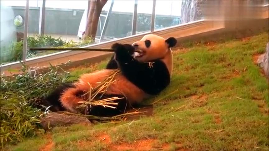 大熊猫吃竹子就像吃甘蔗,咬掉皮再嚼,这牙口真是结实