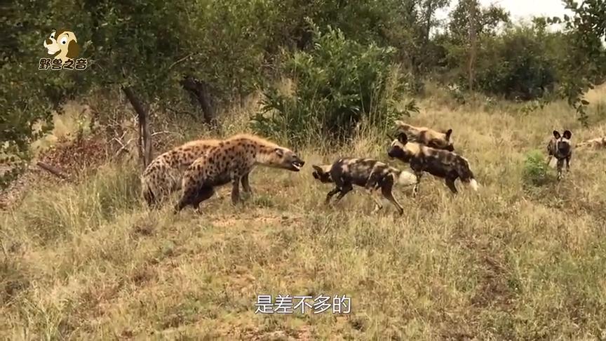 两只鬣狗跑来抢食,野狗放弃坐观虎斗,最后鬣狗只能放弃猎物