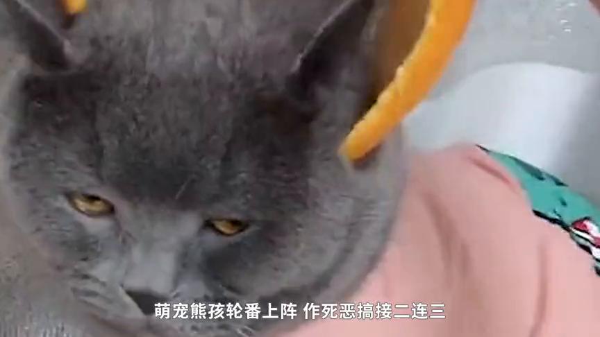 如何拥有一只橘猫?你需要一个橘皮头盔