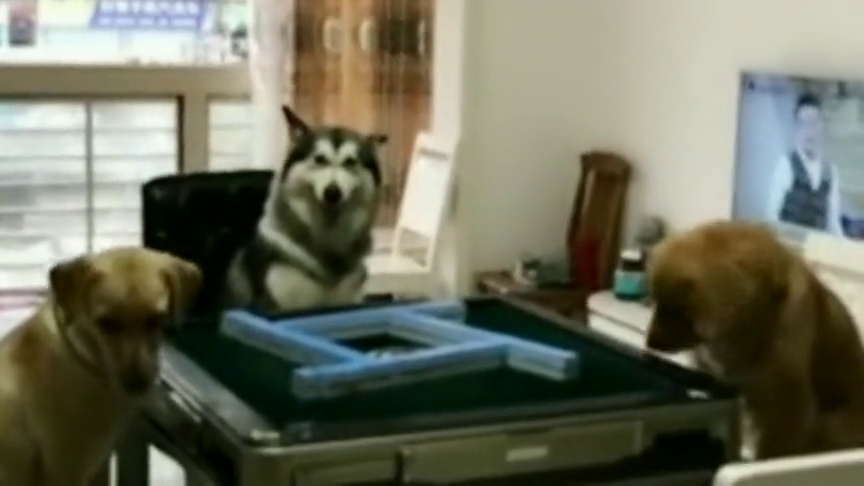 狗子是戏精家庭出身吧,这也太会演了,居然被一只狗蒙蔽了双眼!