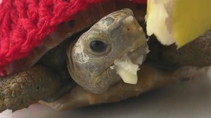 宠物龟居然爱吃香蕉,我也是刚知道的,不过小表情真逗!