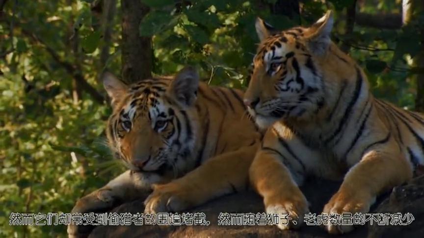 老虎狮子的数量不断下降,偷猎者就将目光转移到另一种大猫身上