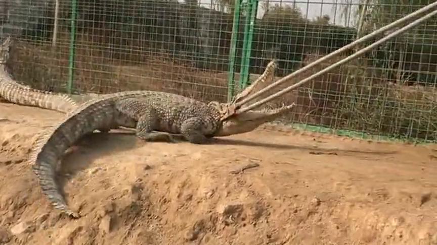 """看来鳄鱼也敌不过有""""钳""""人,小伙子胆儿太大了,居然敢抓鳄鱼!"""