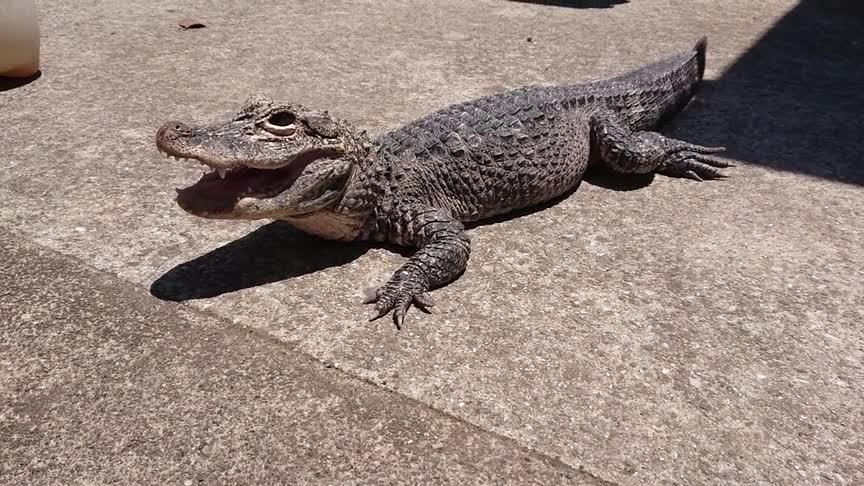 晒日光浴的宠物鳄鱼,样子很享受