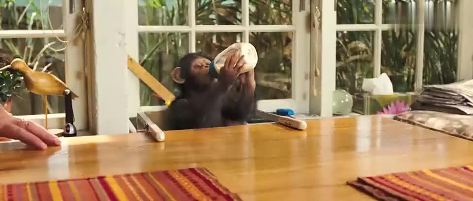 外国小伙带回来一只猩猩,给他喂奶发现它小孩还聪明,太震撼了!