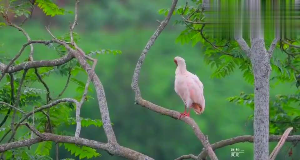 爱美的朱鹮,站在高高的大树上,不停的梳理羽毛