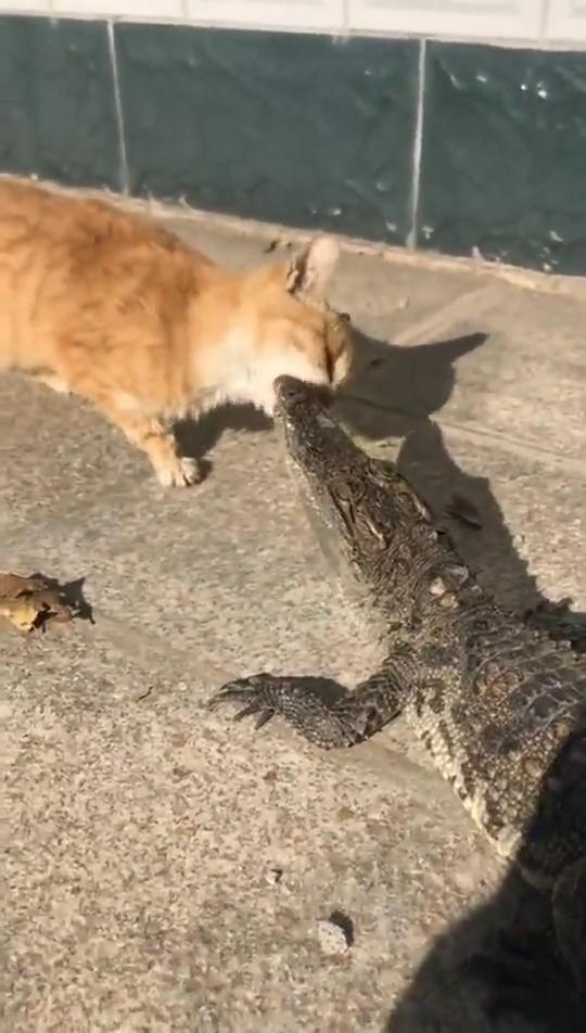 猫:鳄鱼又怎么样,看什么看,是鱼都归我管!