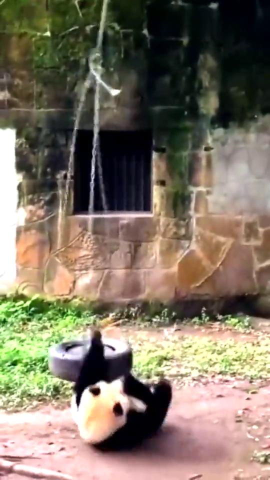 熊猫玩荡秋千,结果荡秋千的绳子断了。