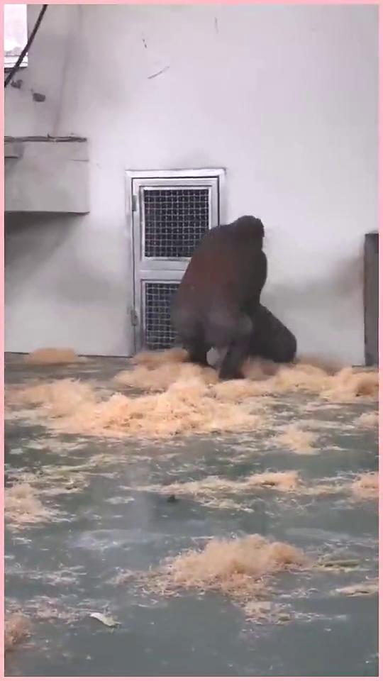 两只黑猩猩有了争执,动手了连这样下三滥的手法都用,看完都别笑