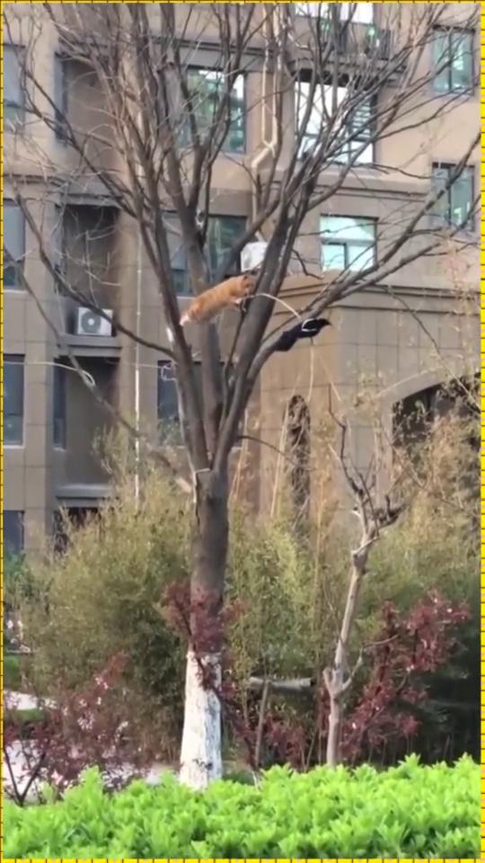 橘猫今天被喜鹊调戏了,这场子算是找不回来了