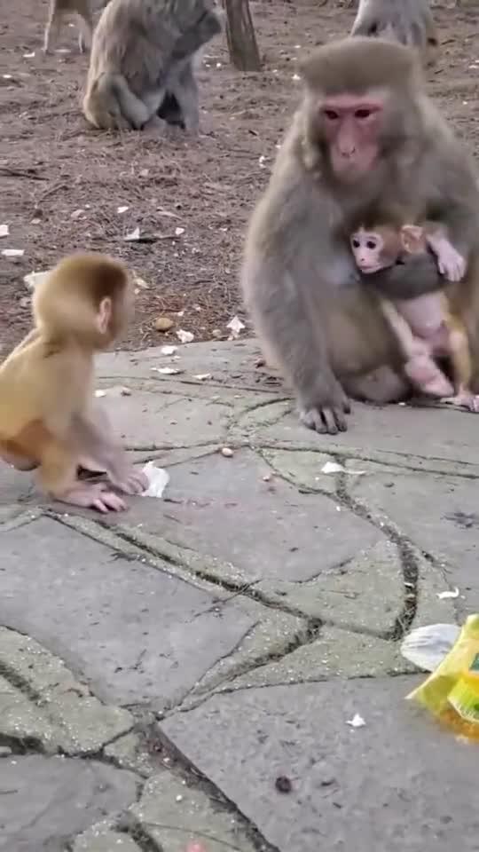 小猴被欺负了,猴妈妈上去就是一巴掌,另一只直接愣住了