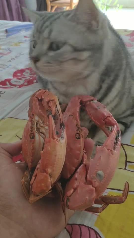 猫咪:太狠了!想用螃蟹夹我