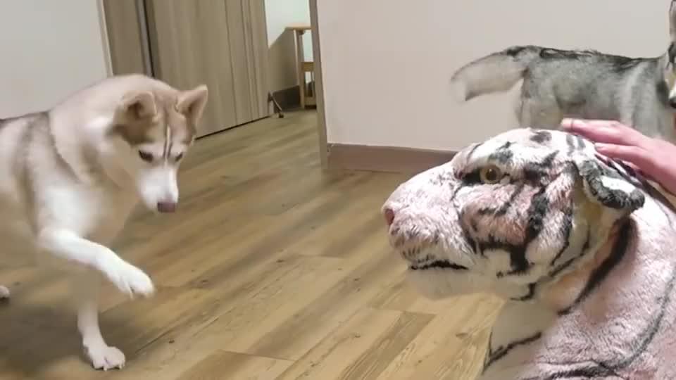 家里突然来了一个巨型白虎,狗狗会有什么反应,下一秒憋住别笑