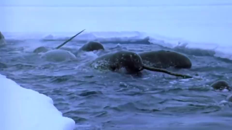 看独角鲸如和捕食,和你想象的完全不同,真是大开眼界了