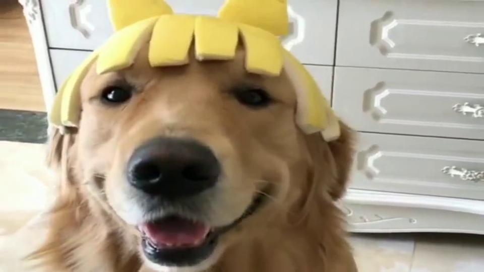 金毛:柚子皮还能做出这么好看的帽子,主人,下次咱用西瓜皮试试