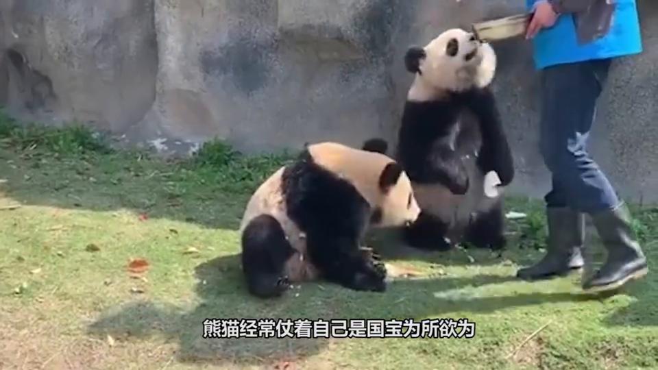 大熊猫看到摇椅,舒服坐在椅子上翘二郎腿,下一秒请不要笑