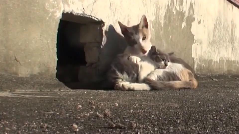 小猫双腿被打断丢在屋顶,母猫一直守护着孩子,看完泪目了!