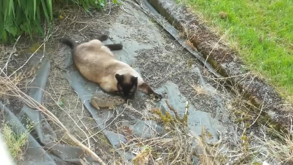 野兔被猫抓住,猫咪正沾沾自喜,谁知螳螂捕蝉黄雀在后!