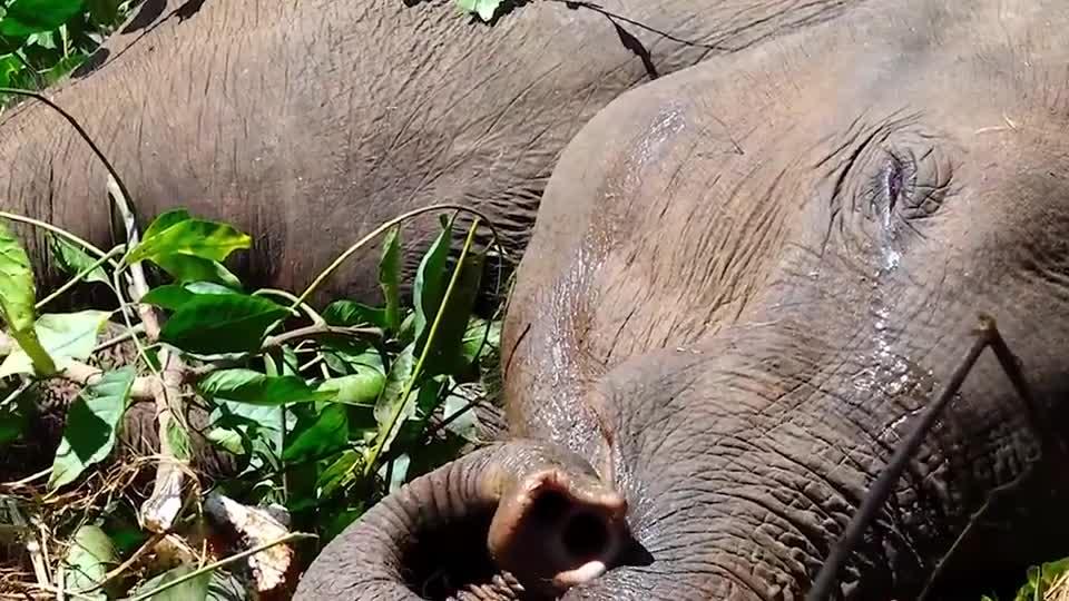 路人发现一头受伤小象,赶紧上前施救,小象竟流出了眼泪