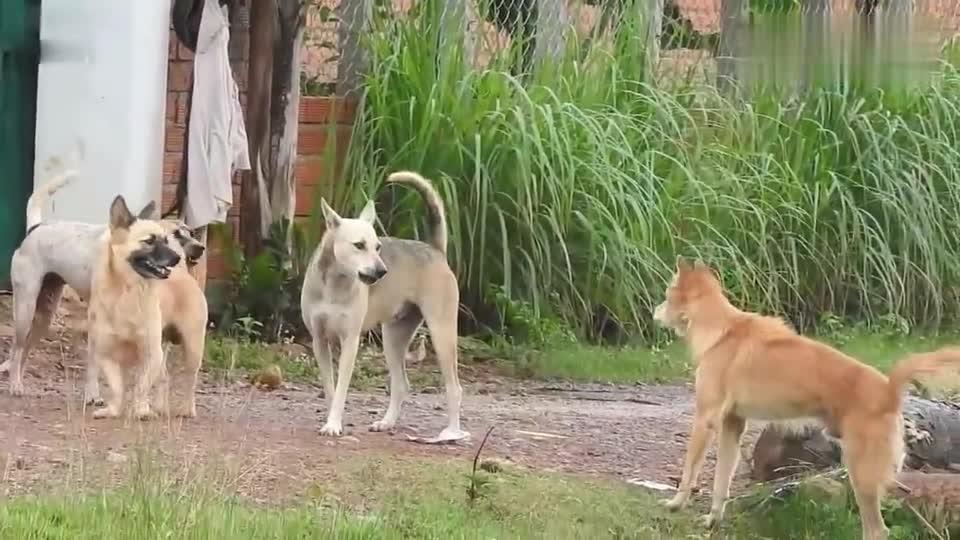 德牧串出来的小短腿,夹在几只吵架狗狗的中间,不知何去何从