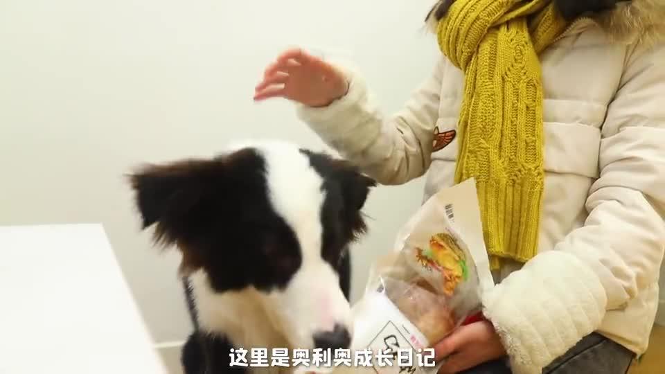 主人给狗狗买了网上的县长扒鸡,狗狗竟吃完第一只还想第二只