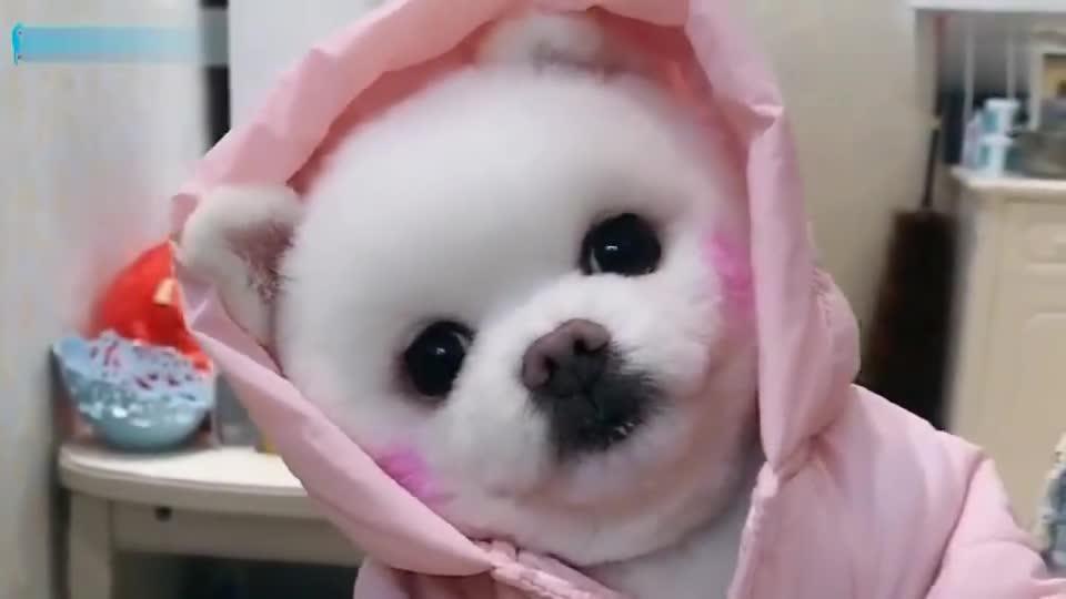 穿上新衣服的小狗狗,开心的像个小孩子,还会怀里撒娇