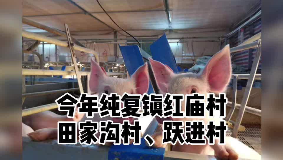 猪价喜人!村集体抱团建猪场却不养猪,原因竟是……
