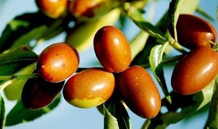科学家阐明枣树重要园艺性状形成的分子机理