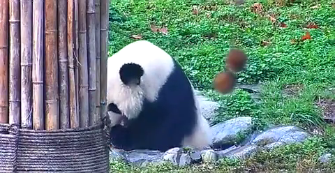 熊猫界的防暑降温小妙招,你们学到了吗?