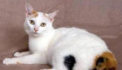 日本短尾猫感情丰富,对人友善,活泼好动,非常适宜家庭饲养!