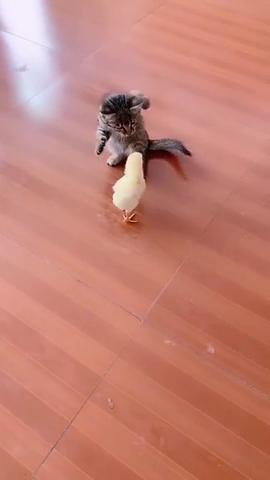 左勾拳,右勾拳,逮住小鸡一顿捶,这猫咪是个真正的拳击手