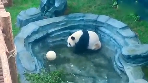 爱玩水的大熊猫宝宝,配上一只小皮球,玩到根本停不下来