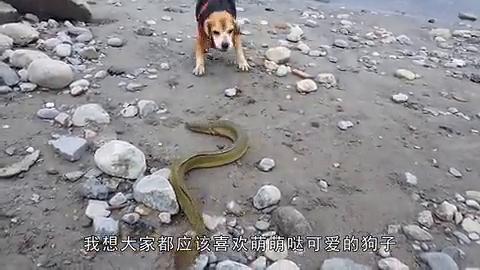 狗狗看到路上的电鳗,冲上去就咬,被主人拍下狗狗崩溃瞬间