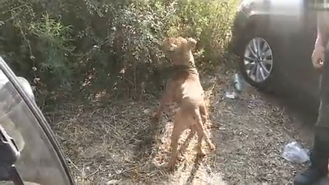 狗市上拍到一条兴奋度很高的比特犬,主人正在给介绍它如何勇猛