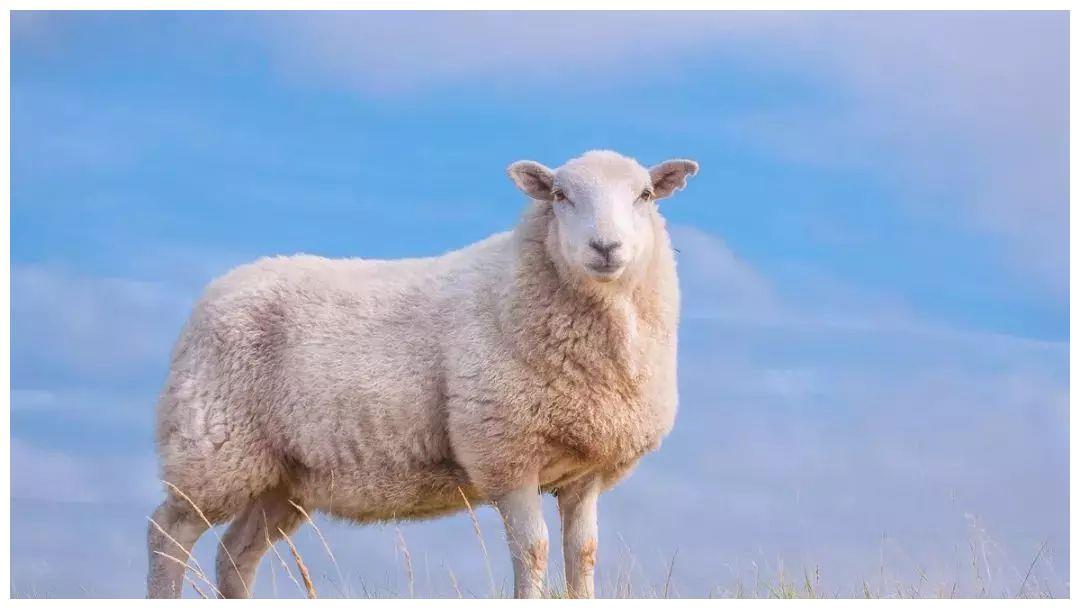 79年属羊人牛年运势如何?会顺利无忧吗?