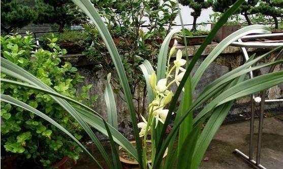 兰花养花难高,做好3点养护技巧,才能让它茁壮生长,长势更充沛