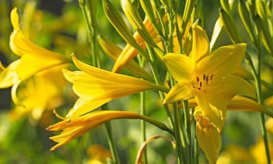 黄花菜的种植和管理方法,掌握好,助你种出优质黄花菜