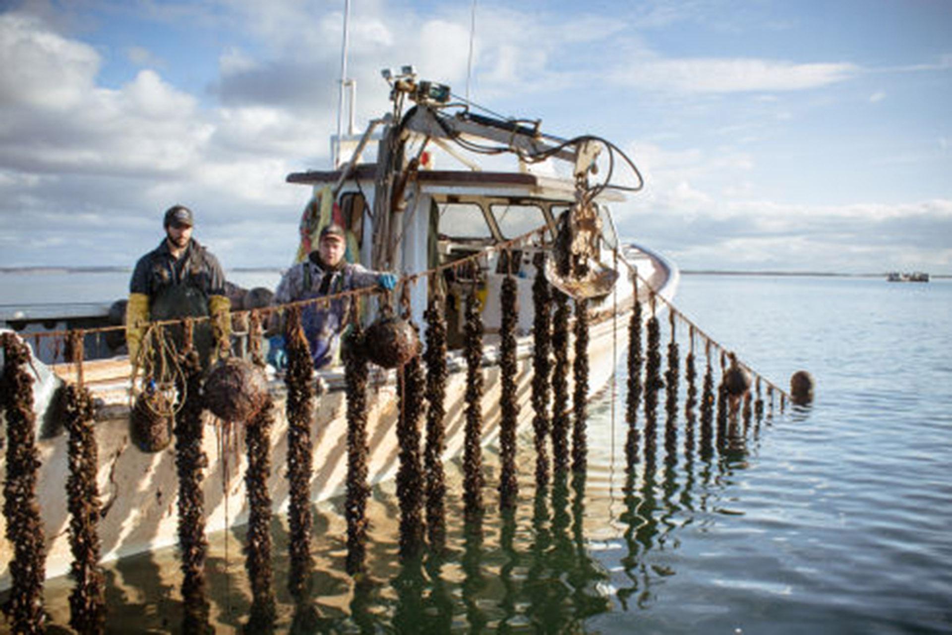 加拿大渔民用长线圈养蓝口贝,采收季轻松收获成串贻贝!