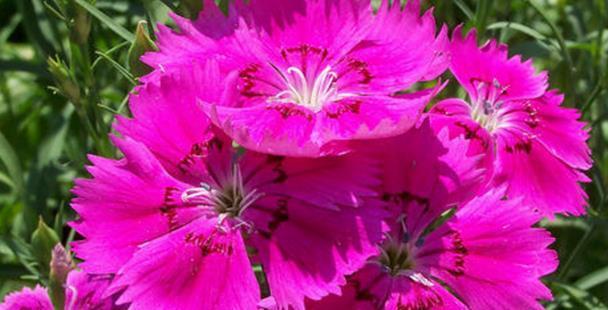 """院子养花,不如养些""""花中精品""""五彩石竹,鲜艳欲滴,格外迷人"""