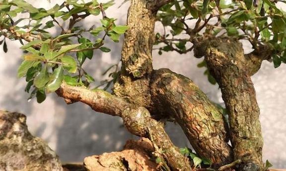 盆栽枸杞,在家自己种,了解枸杞的功效
