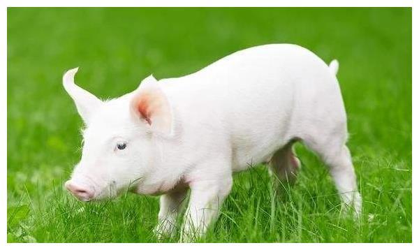 属猪人2021年,生肖猪有3大喜来临,速度看看是什么喜?