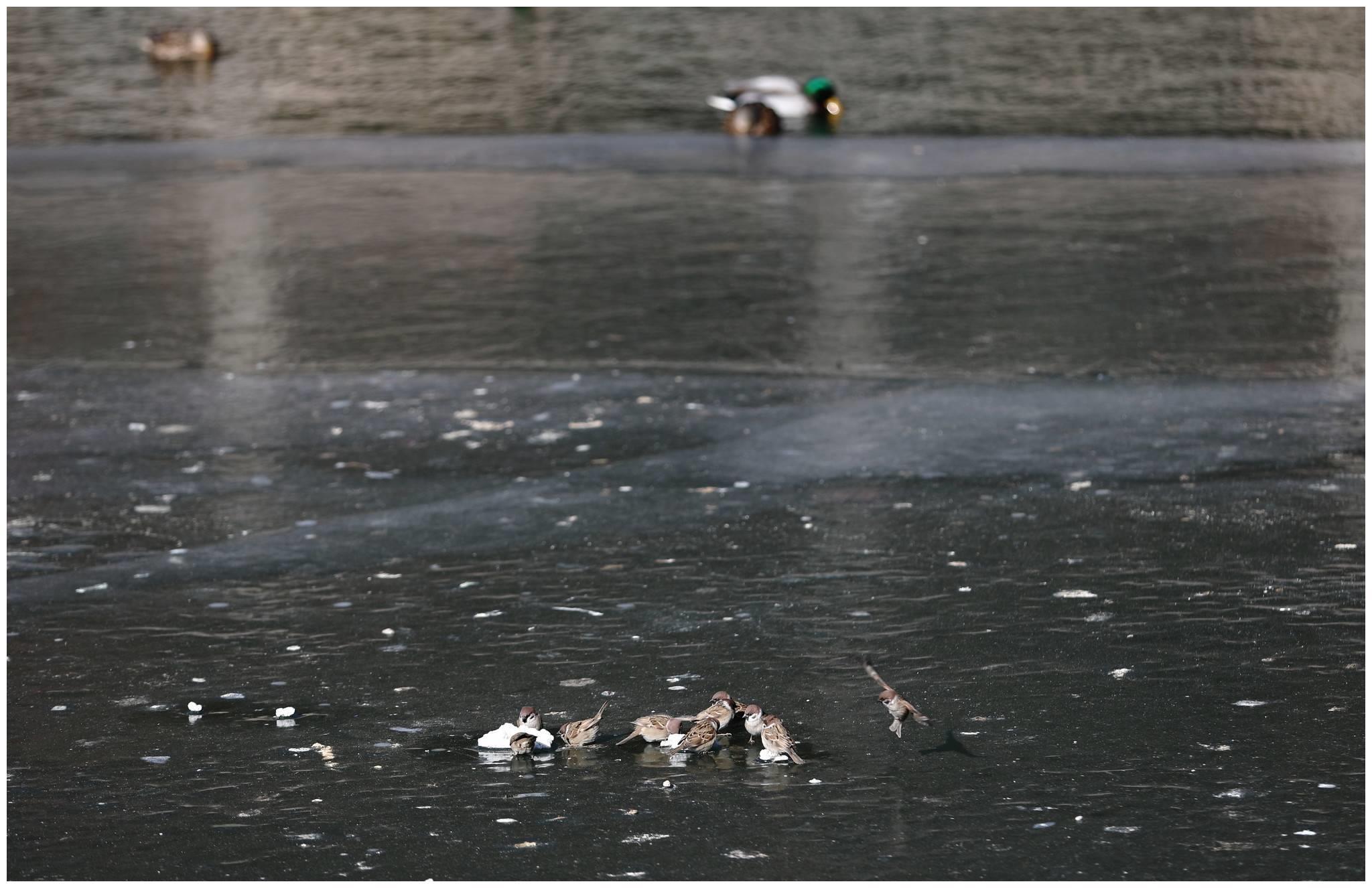 北京北海公园湖面上冻 水鸟不畏大风和寒潮冰水里觅食