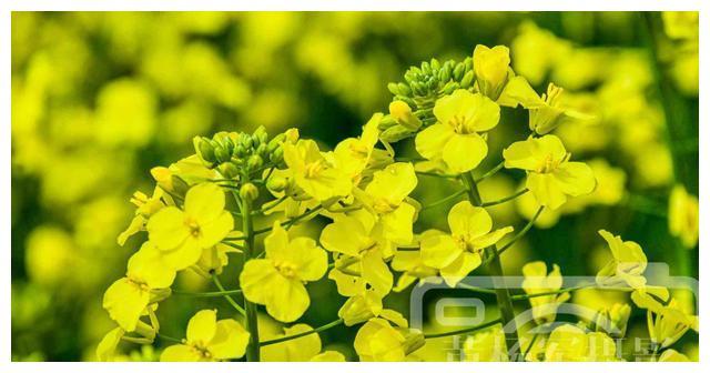 油菜花绽放的春天,娇美的花朵花瓣十分精致,乡村最美的春色