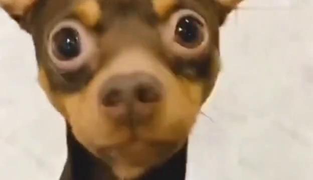 女主人上厕所让狗狗拿手纸,狗狗的反应很懂事,这狗真的是成精了
