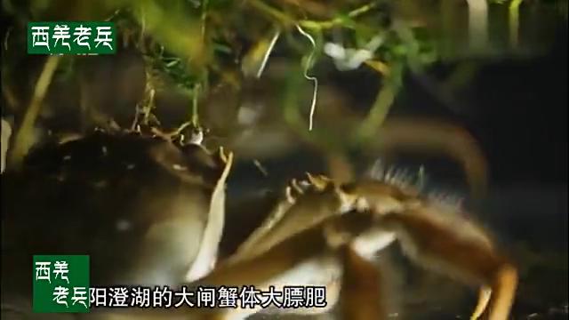 阳澄湖大闸蟹又叫金爪蟹!20亩养殖区一年能获得十几万元的收入!