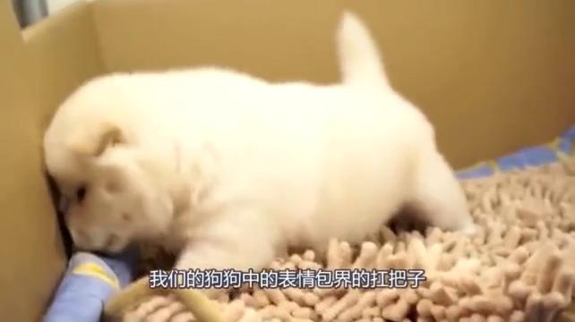 可爱的小柴犬,活力满满很是调皮。样子超级可爱