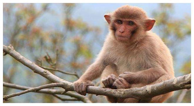 十二生肖属猴人,12月有财运来临,属猴人穿什么颜色衣服最旺?