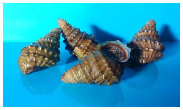 螺蛳拟列保护动物