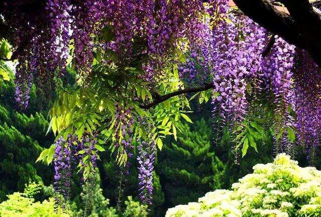藏在苏州的紫藤花公园,正是花开时期,距常熟市区仅有6公里