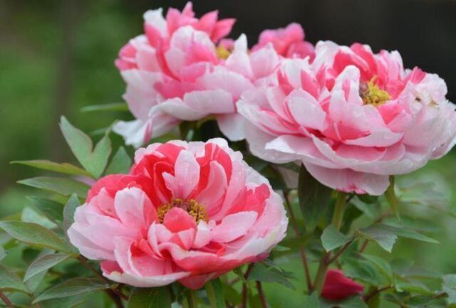超漂亮的5种花卉,长势好、花色艳,开花硕大香味浓